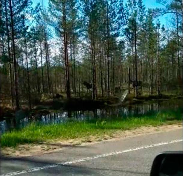 Стадо лосей попало на видео водителя на трассе «Кимры-Тверь»