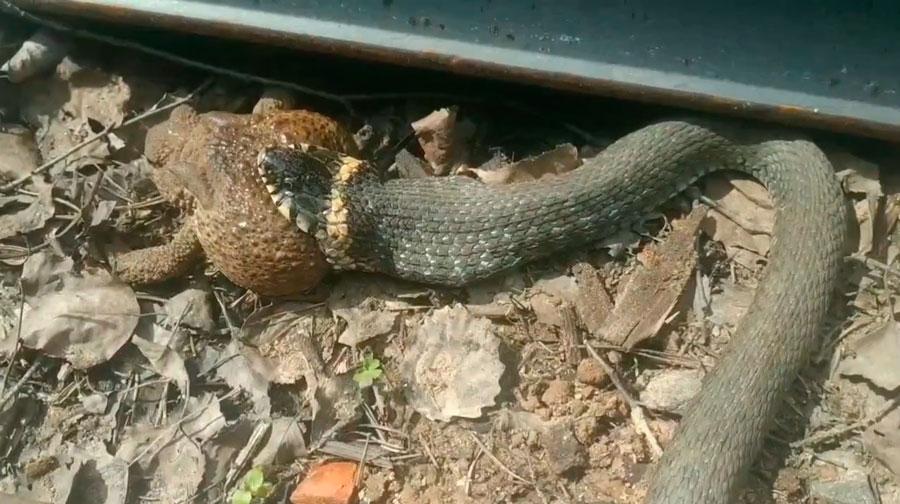 В сети появилось видео, как жадная змея ест жабу на железной дороге в Савелово